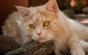 Обои взгляд, мордочка, рыжий кот, кот