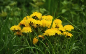 Картинка трава, весна, одуванчики