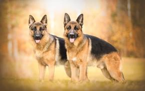 Картинка осень, боке, две собаки, овчарки