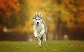 Картинка осень, трава, собака, прогулка, боке, Хаски