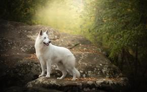 Картинка осень, камень, собака, Белая швейцарская овчарка