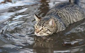 Картинка кот, вода, заплыв, пловец