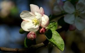 Картинка макро, ветка, яблоня