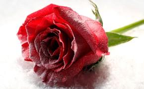 Картинка цветок, снег, крупный план, роза, бутон, белый фон, красная