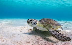 Обои море, вода, фон, черепаха, подводный мир, морская черепаха, на дне