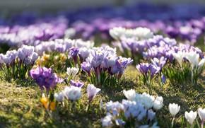 Картинка поляна, Цветы, весна, травка, цветение, Крокусы