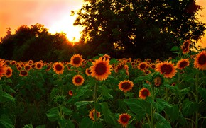 Картинка Закат, Природа, Поле, Подсолнухи, Nature, Sunset, Field, Sunflowers