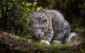 Обои Снежный барс, Снежный леопард, дикая кошка, Ирбис