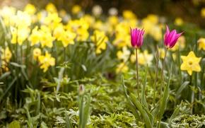 Картинка весна, тюльпаны, нарциссы