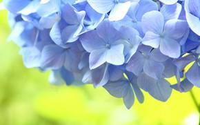 Картинка цветы, голубой, Макро, гортензия