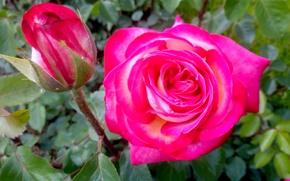 Картинка розовая, роза, Цветы