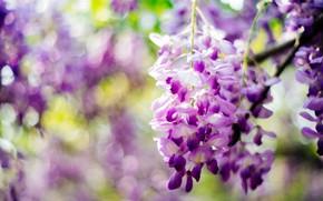 Картинка фиолетовый, цветы, Глициния