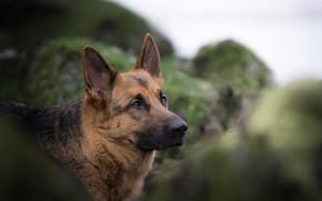 Картинка морда, портрет, собака, боке, Немецкая овчарка