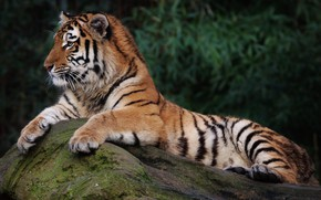 Картинка кот, природа, тигр, отдых, камень