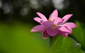 Картинка цветок, свет, цветы, лист, зеленый, фон, настроение, розовый, лепестки, лотос, лотосы, боке, распустившийся
