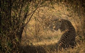 Картинка свет, тень, хищник, пятна, леопард, Африка, окрас, сидит, дикая кошка, смотрит