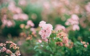 Картинка цветы, розы, розовые, боке