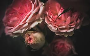 Картинка макро, цветы, природа, фон, роза, минимализм, rose, minimalism, nature, flowers, macro
