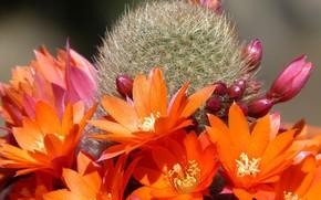Картинка кактус, колючки, оранжевые цветы, свет и тень, картинка макро, розовые бутоны