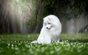 Картинка природа, собака, Самоед, Самоедская лайка