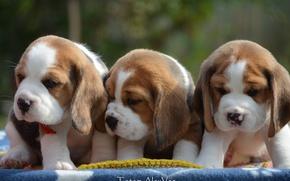 Картинка щенки, трио, бигль