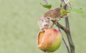 Картинка яблоко, парочка, грызуны, Мышь-малютка, две мышки