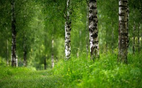 Картинка зелень, лето, берёзы