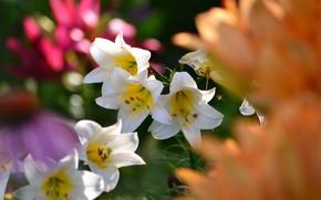 Картинка цветы, природа, лилии, цветение