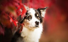 Картинка осень, взгляд, морда, листья, ветки, портрет, собака, боке, Бордер-колли