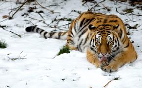 Обои дикая кошка, снег, тигр