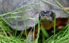 Картинка трава, природа, черепаха, by Nushaa