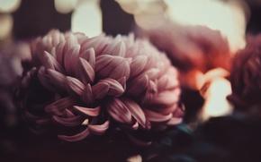 Картинка лепестки, размытость, бутон, нежно, хризантемы