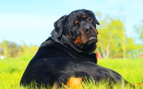 Картинка друг, собака, мордаха, ротвейлер