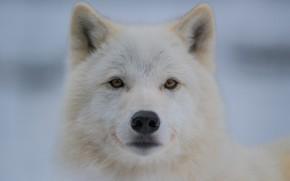 Картинка портрет, животные, взгляд, волк, белый, морда, крупный план, светлый фон, полярный, арктический