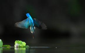 Картинка вода, полет, природа, зимородок, птицa