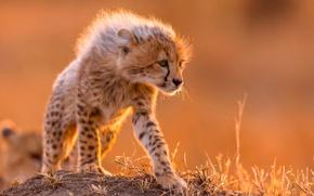 Картинка хищник, шерсть, маленький, грива, гепард
