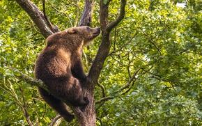 Картинка дерево, медведь, на дереве, Бурый медведь, Топтыгин, высоко сижу – далеко гляжу