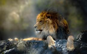 Обои животное, хищник, Thai Phung, трава, лев, камни