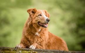 Картинка собака, рыжая, боке