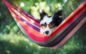 Обои гамак, морда, Бордер-колли, очки, боке, собака