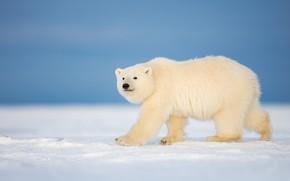 Картинка зима, снег, мишка, белый медведь