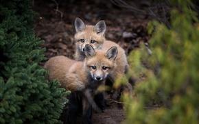 Обои природа, лес, лисы, лисята