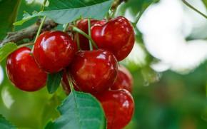 Обои ягоды, Cherry, Черешня, Macro