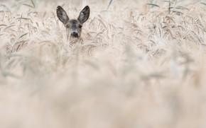 Картинка поле, олень, колосья