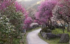 Картинка камни, дорожка, Japan, цветение весной