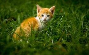 Картинка трава, котенок, мордочка, рыжий котенок