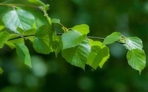 Картинка лето, свет, листва, ветка, береза