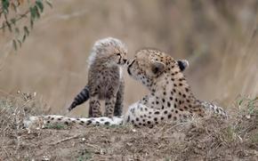 Обои природа, фон, гепарды