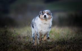 Обои поле, осень, трава, радость, собака, бег, щенок, прогулка, австралийская овчарка, пробежка, аусси