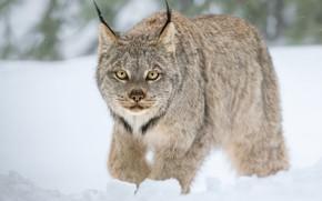 Обои зима, дикая кошка, снег, Рысь, взгляд